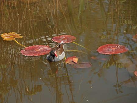 freshwater bird: swimming pond ralle