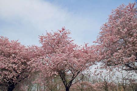 almond tree: Almond blossom