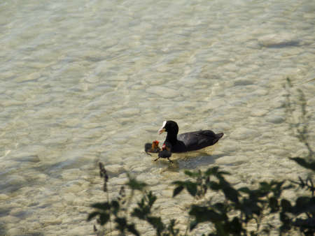 coot: Coot with young