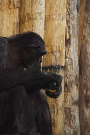 bonobo: Bonobo mono Foto de archivo