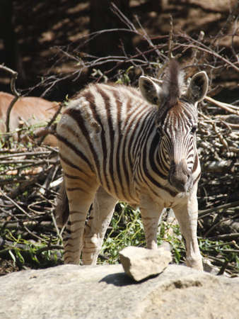 zebra foal photo