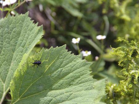 weevils: black weevils