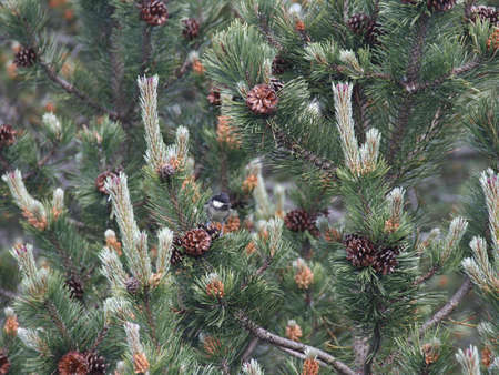 mountain pine photo