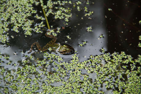 Frog in the pond photo