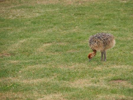 fleecy: Baby ostrich