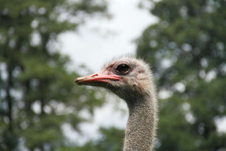 fleecy: young ostrich