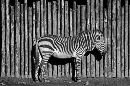 hoofed animal: a rayas