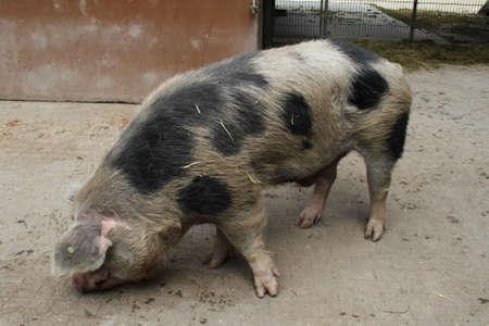 Domestic pig photo
