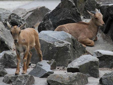 wild goat: Cabra salvaje Foto de archivo