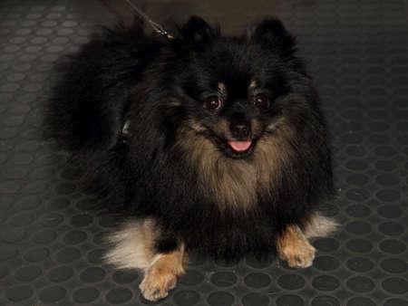 pedigree: Pedigree dog Stock Photo