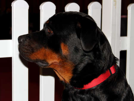 Pedigree dog Stock Photo