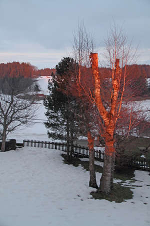 afterglow: Birch in Afterglow