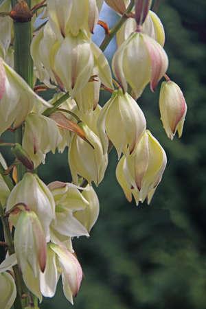 Yucca-Blossom Reklamní fotografie