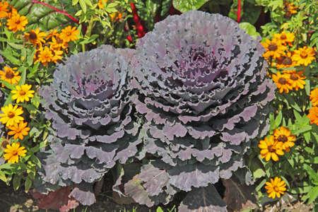 red cabbage Reklamní fotografie