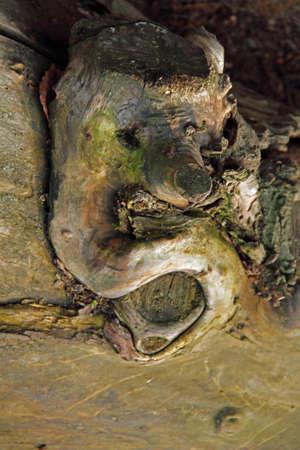 Gesichter des Waldes Standard-Bild - 117150260
