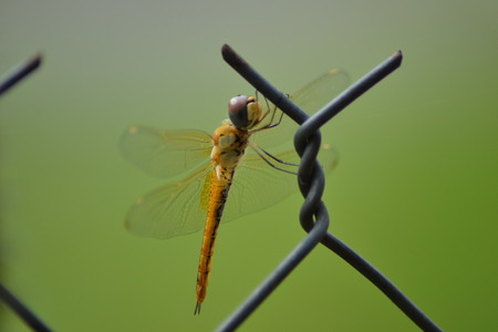 anisoptera: Pepatung is a kind of insects