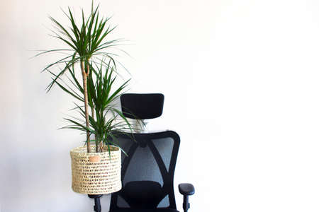 Computer black chair and green plant on it at home or in the office on the white background. Home plant, plant care, environment concept
