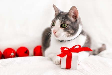 portrait of domestic gray-white cat with green eyes. The cat lying on a white blanket next to christmas balls and gift box with a red bow.