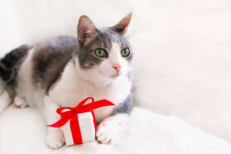 Close up portrait of domestic gray-white cat with green eyes. The cat lying on a white blanket next to a gift box with a red ribbon and bow. Space for text Banco de Imagens