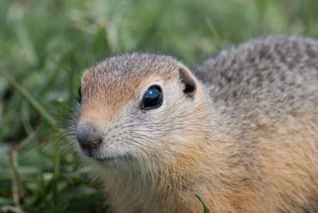 eye hole: young nosy gopher in the middle green grass, close-up