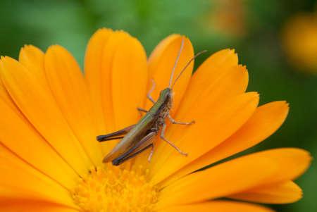 grig: a grosshopper, orange flower, blur green background Stock Photo