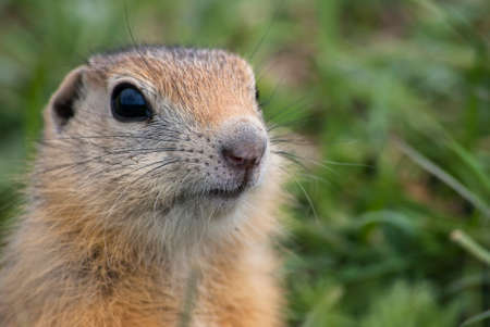 snoot: The snoot of young ground squirrel clouseup.