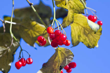 Autumn berries, against the sky photo