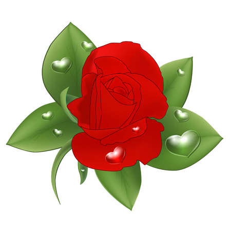 Red rose with drops in the form of heart on a white background.  Vector