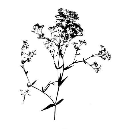 Black Gypsophila Paniculata silhouette isolated on white background.