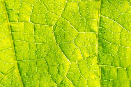 Macro texture of green leaf