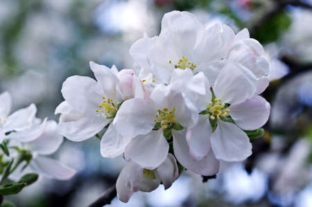 Flowers of an apple-tree in the spring. Beautiful nature background outdoors in summer, in spring close-up macro. Natural background.