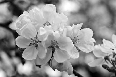 Flowers of an apple-tree in the spring. Black and white nature background outdoors in summer, in spring close-up macro. Black-and-white photo