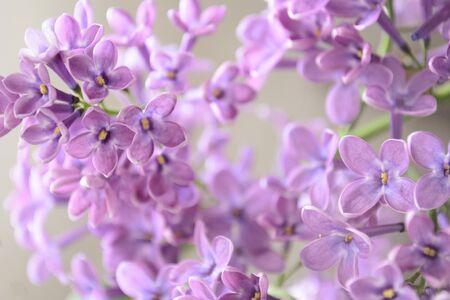 lilac flowers macro closeup in spring Stockfoto