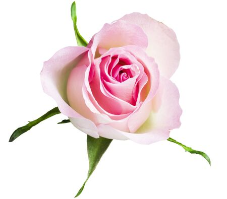 gently creamy pink rose closeup no background Banque d'images