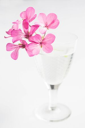 pink geranium flowers on a white background in a glass vase Banque d'images