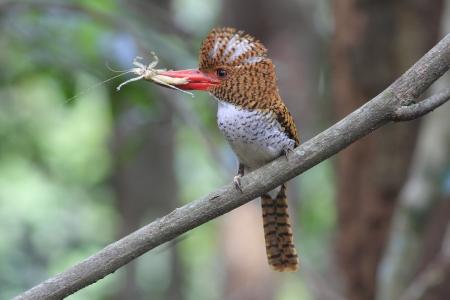 Banded Kingfisher photo