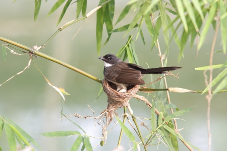 fantail: Pied Fantail Stock Photo