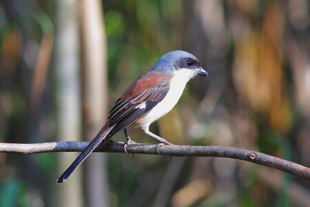 aves: Burmese Shrike (Lanius collurioides)