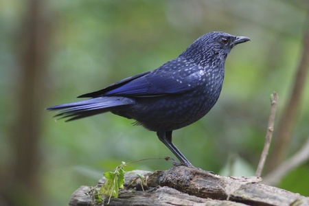 Blue Whistling-Thrush photo