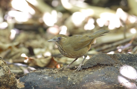 Spot-breasted Laughingthrush Stock Photo - 16966117
