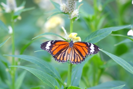 Common Tiger Butterfly  Danaus genutia  Stock Photo