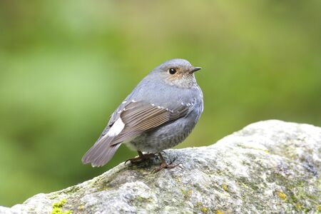 Plumbeous Water Redstart photo