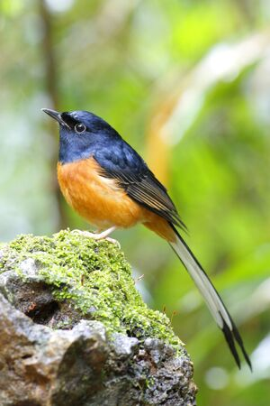 White-rumped Shama photo