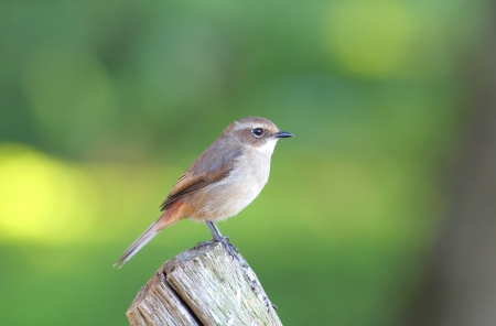 Grey Bushchat female photo