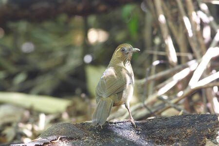 laughingthrush: Spot-breasted Laughingthrush