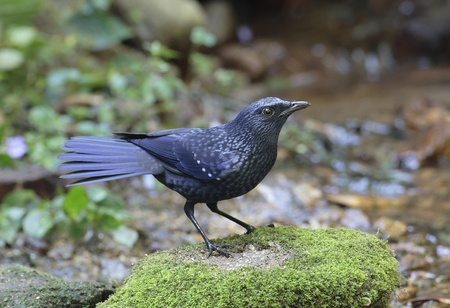 Blue Whistling-Thrush Myophonus caeruleus photo