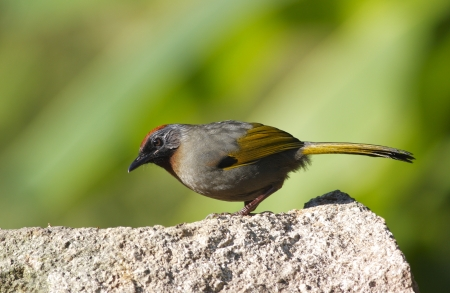 Chestnut-coronado Laughingthrush erythrocephalus Garrulax photo