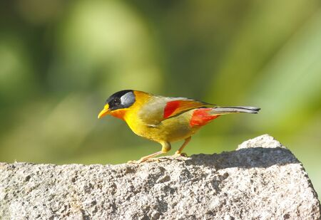 leiothrix: Silver-eared Mesia Leiothrix argentauris Stock Photo