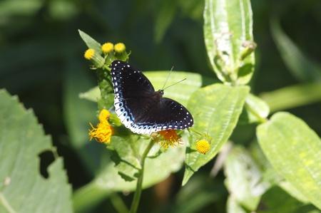 Purple butterfly Popinjay Stibochiona nicea Stock Photo - 17681352