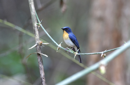 migrate: Tickell s Blue Flycatcher Cyornis tickelliae